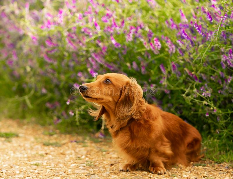 Dachshund, Miniature Long Haired in the park. Dachshund-Miniature Long Haired male dog is sitting on the path and looks curious at the flower background in the royalty free stock images