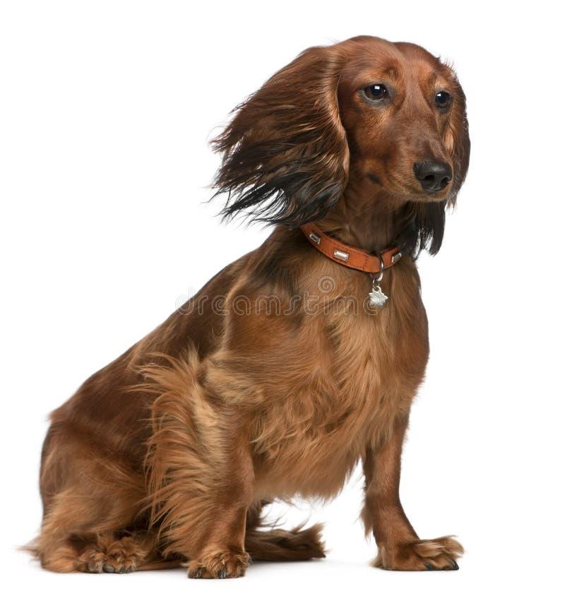 Dachshund mit dem Haar im Wind lizenzfreies stockfoto