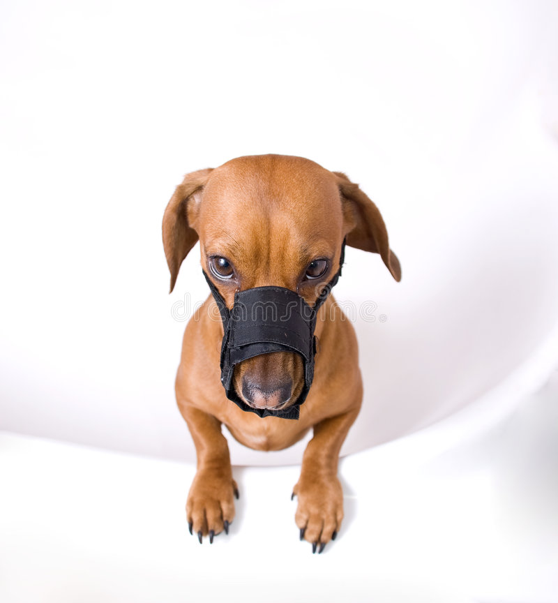 Dachshund in muzzle is angry. Dachshund in muzzle looking at the camera royalty free stock photo
