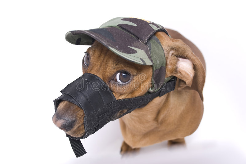 Dachshund In Muzzle And Peaked Cap Is Angry Stock Image