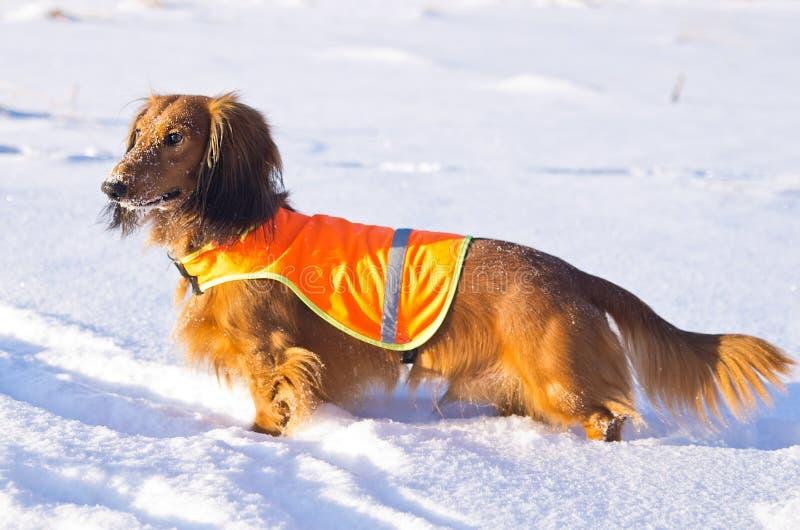 Dachshund na veste na caça do inverno imagem de stock