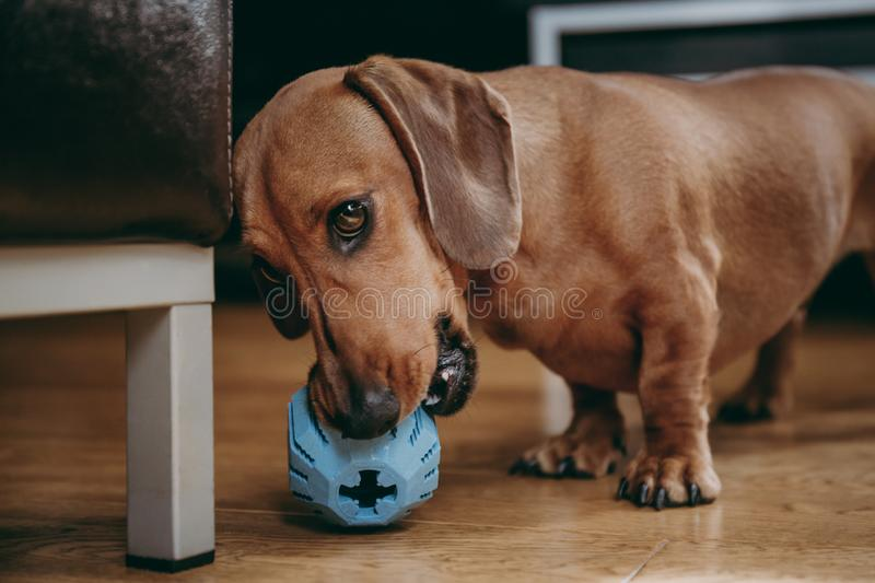 Dachshund playing with a rubber toy on the floor at home. royalty free stock photo
