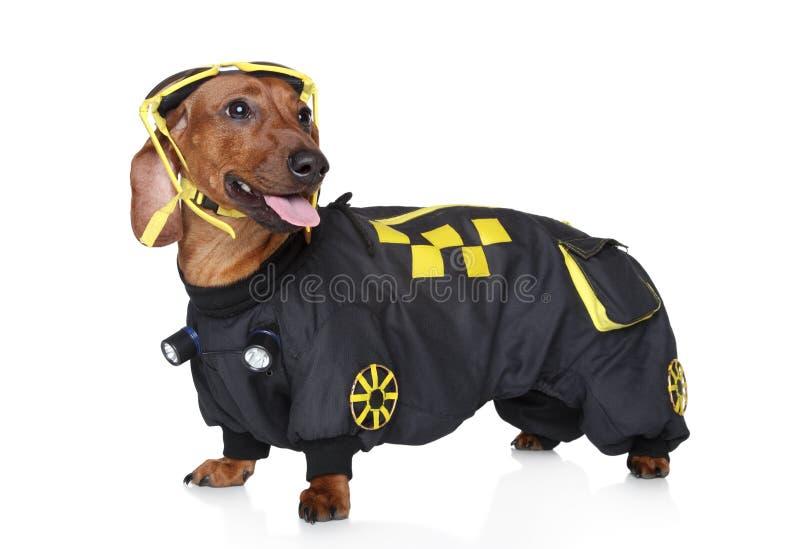 Download Dachshund Portrait Wearing Hoodie Stock Image - Image: 22278951