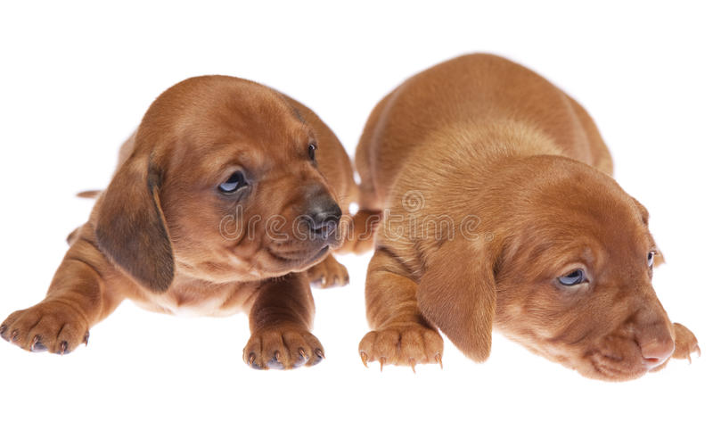Download Dachshund puppies 09 stock photo. Image of cute, isolated - 11941994