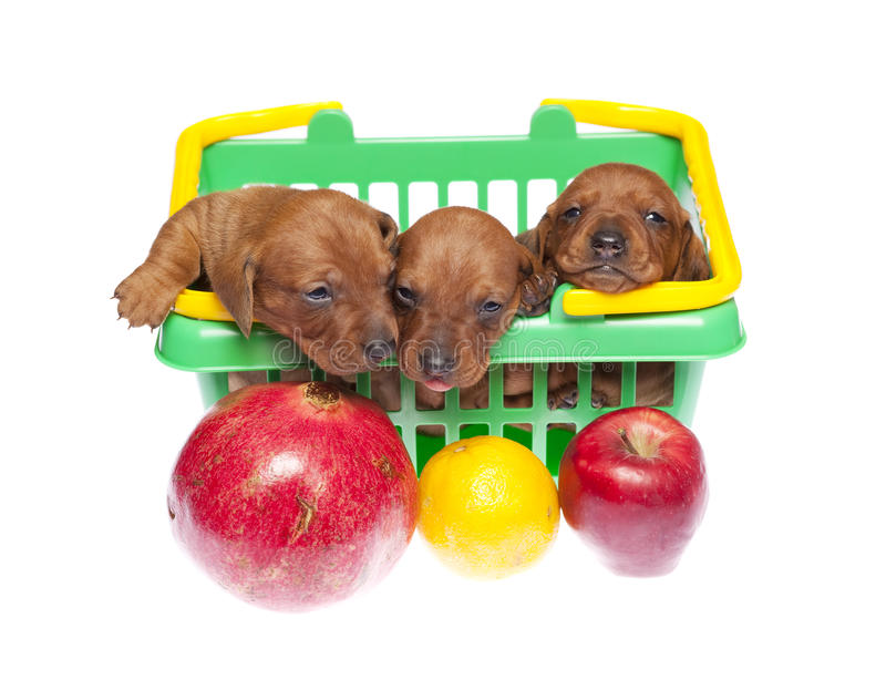 Dachshund puppies with fruits