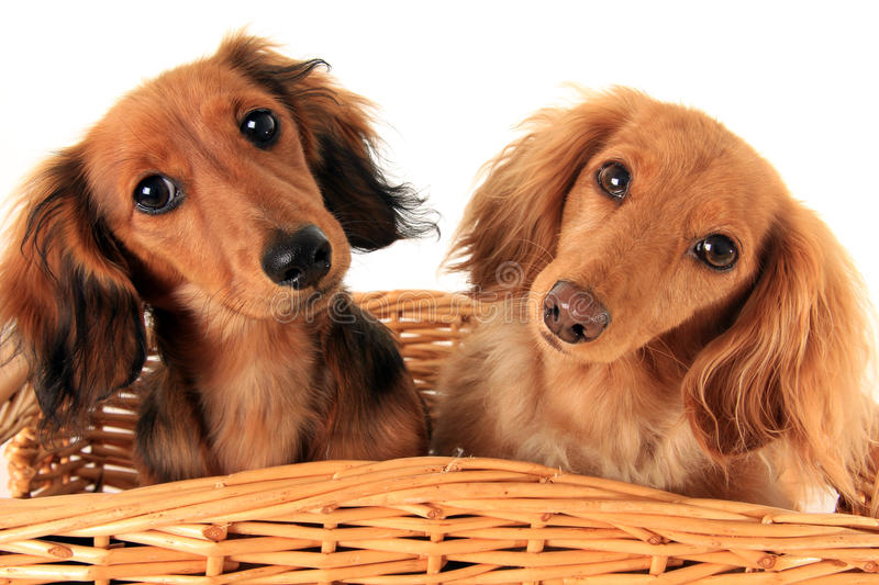 Dachshund puppies. Two dachshund puppies in a basket. I asked them if they wanted a treat, and these are the faces they gave me royalty free stock photos