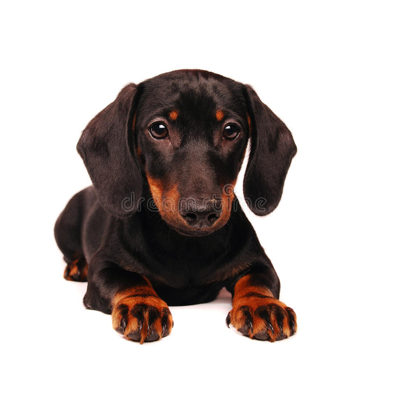 Download Dachshund puppy stock image. Image of doggy, front, white - 12456635