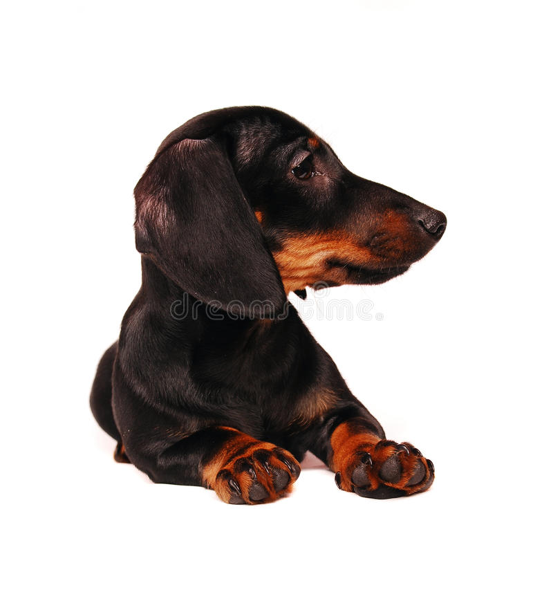 Download Dachshund puppy stock photo. Image of mammal, breed, isolated - 12456636