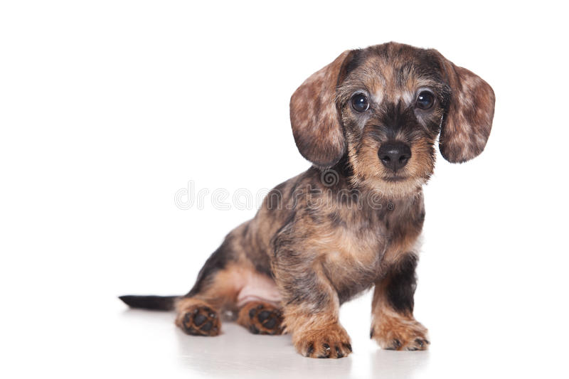 Download Dachshund puppy stock photo. Image of doggy, cute, studio - 21117166