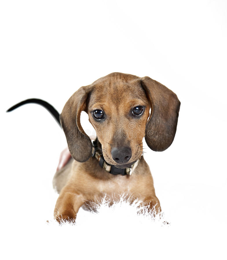Download Dachshund puppy stock photo. Image of good, behaved, portrait - 21481814