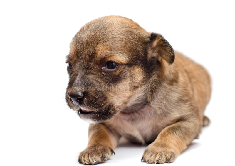 Download Dachshund puppy stock photo. Image of carnivore, chihuahua - 28382594