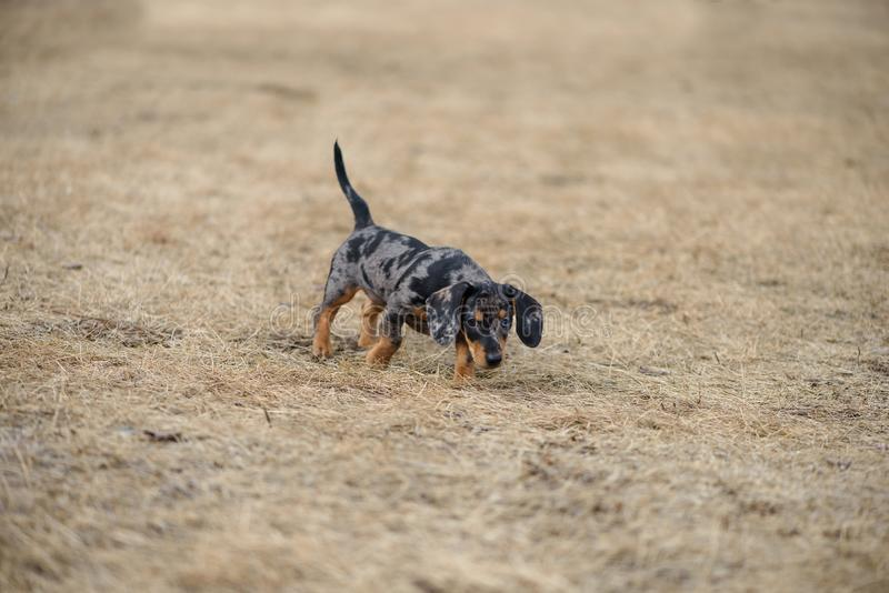 Dachshund puppy with blue eye stock image