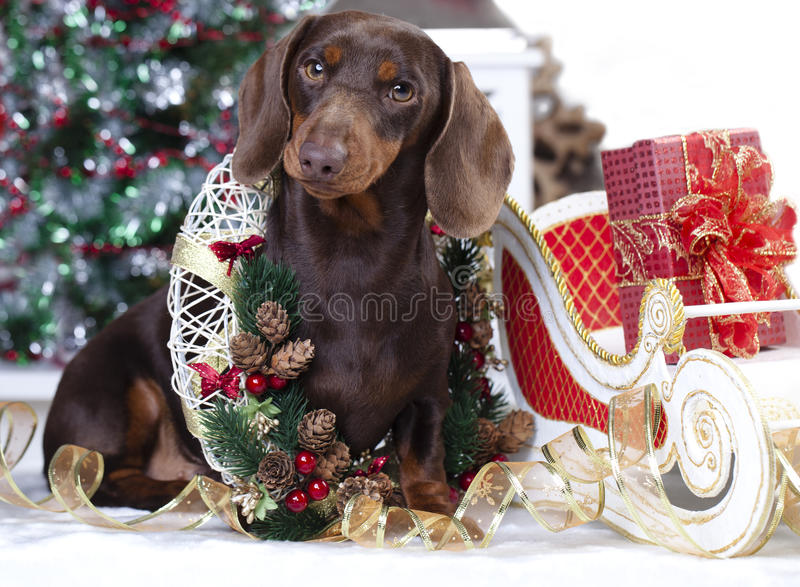 1 499 Dachshund Christmas Photos Free Royalty Free Stock Photos From Dreamstime