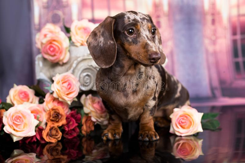 Dachshund puppy and flowers. Dachshund puppy brown tan color and tea roses stock photography
