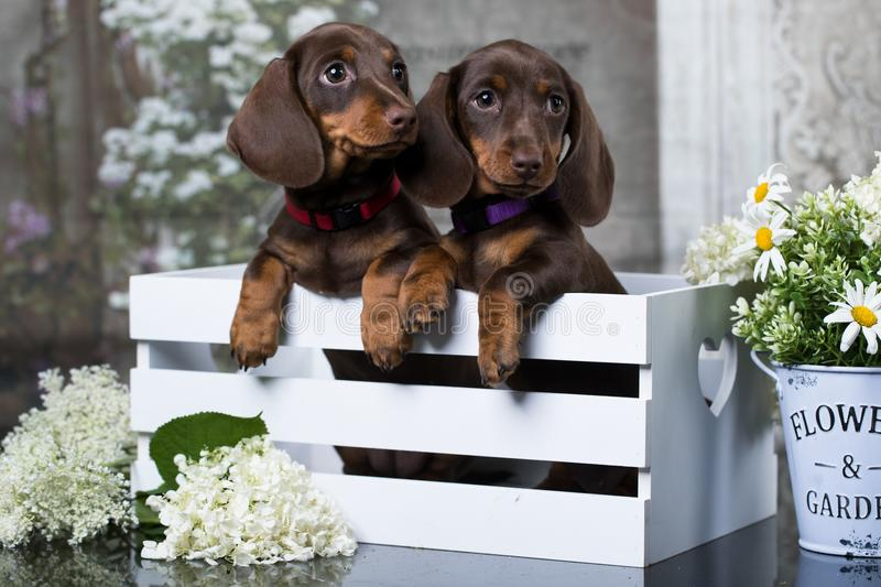 Dachshund puppy and flowers chamomile royalty free stock photos