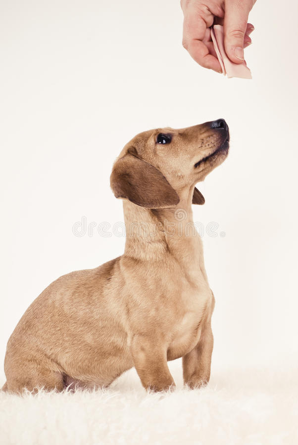 Download Dachshund Puppy Looking For Treat Royalty Free Stock Images - Image: 22525349