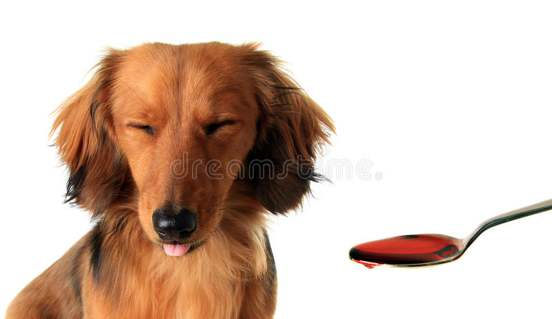 Dachshund puppy and medicine. royalty free stock photos