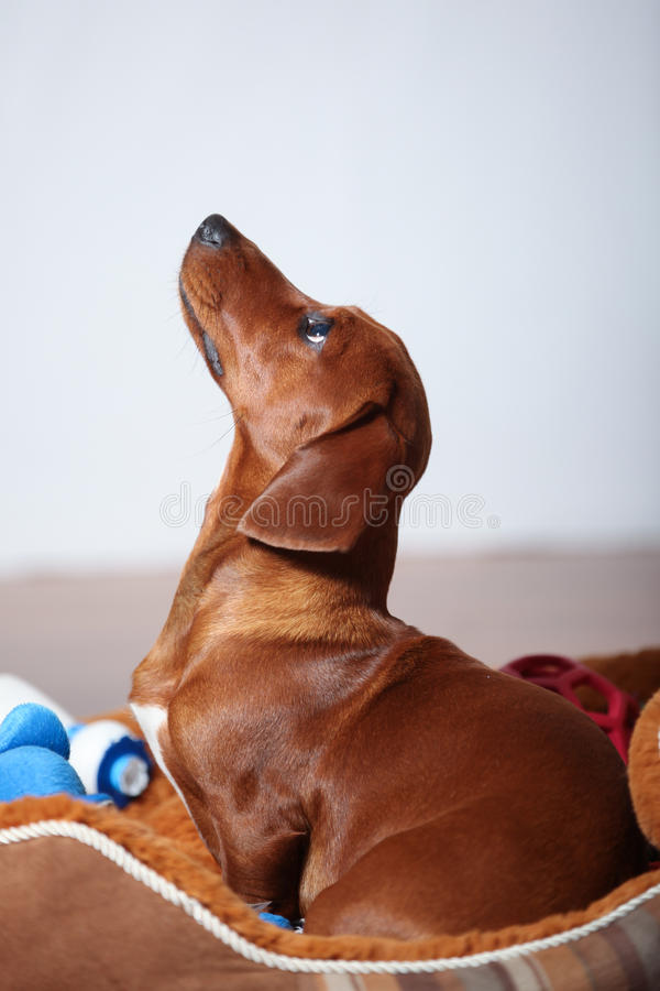 Download Dachshund puppy profile stock image. Image of purebred - 40213887
