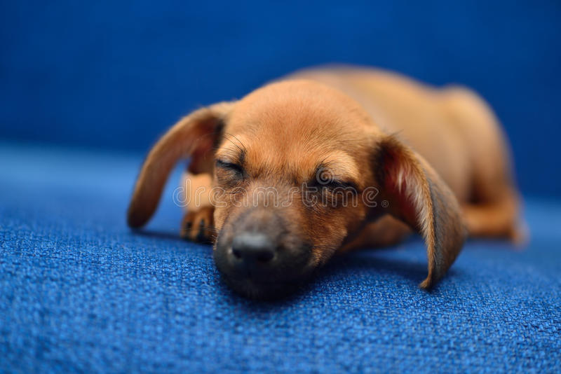 Download Dachshund Puppy Sleep On A Blue Background Stock Image - Image of sleep, blue: 97706773