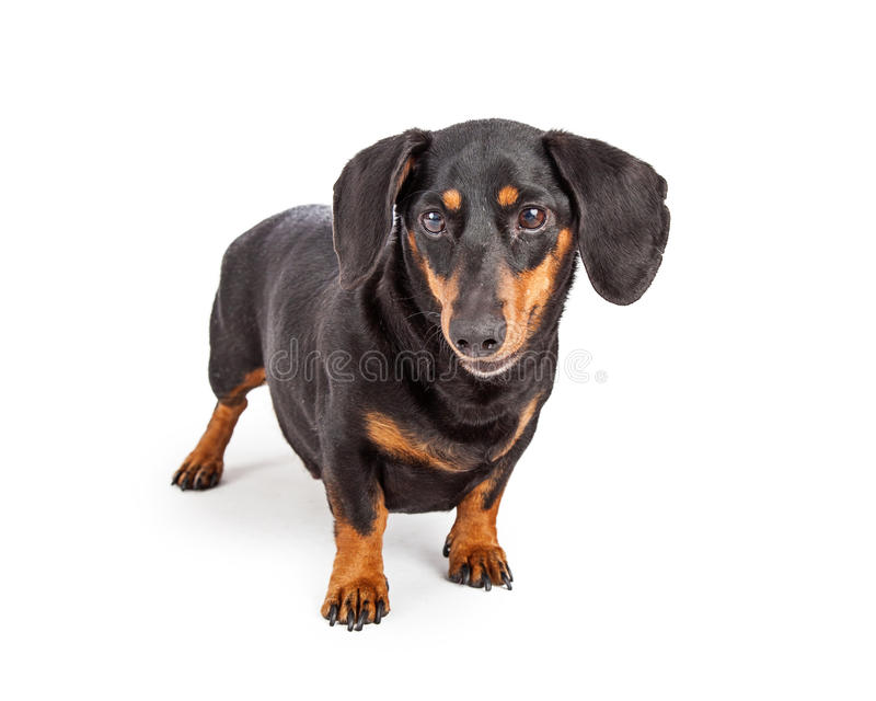 Dachshund Purebreed Dog Standing stock photography
