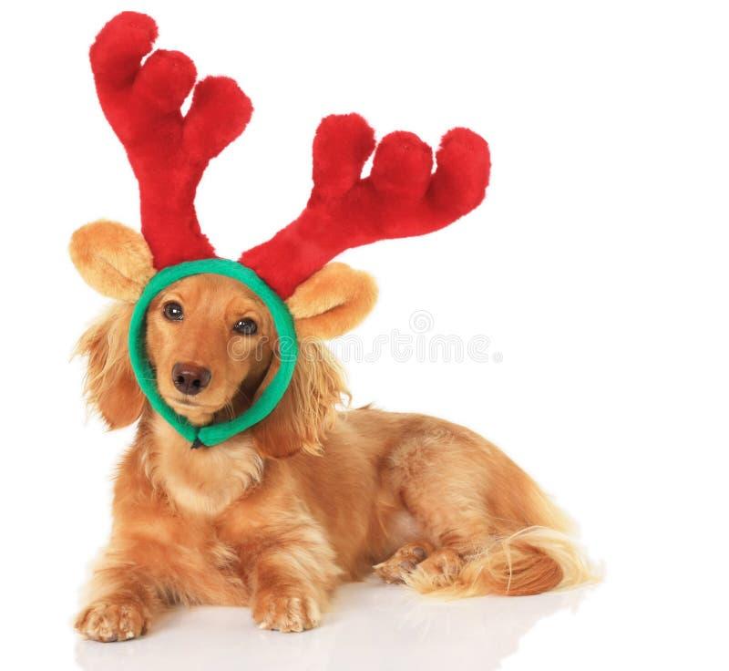 Dachshund Rudolph royalty free stock photography
