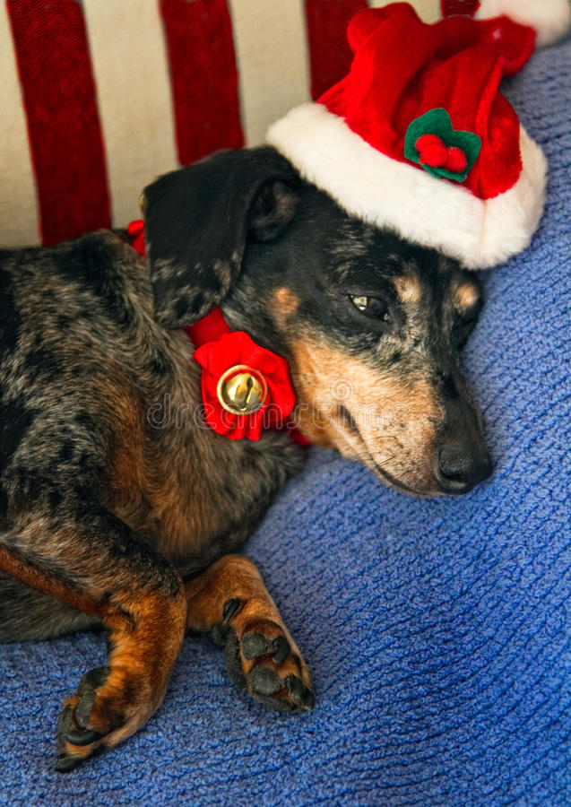 dachshund santa стоковые изображения rf