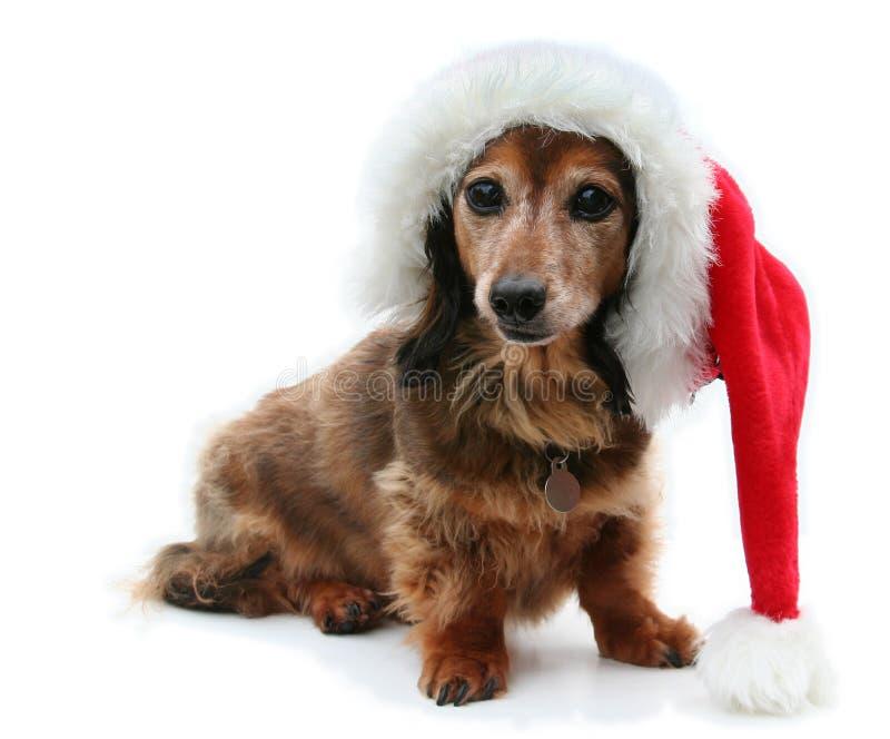 dachshund santa стоковое изображение rf