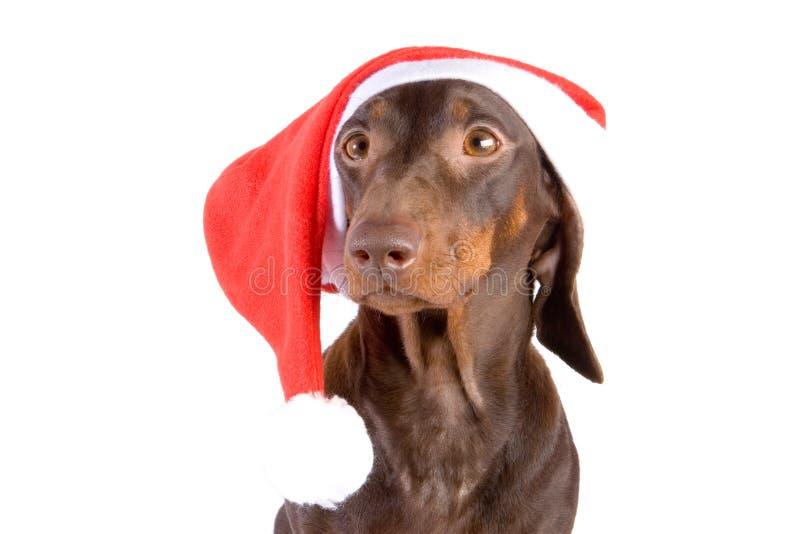 Dachshund Santa imagem de stock royalty free
