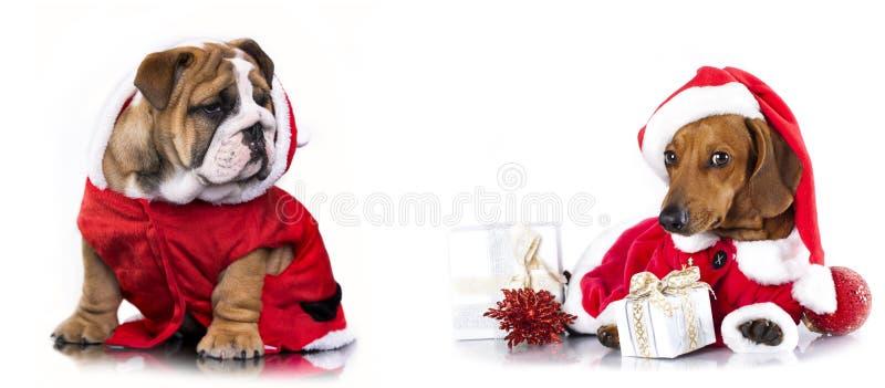 Dachshund in Santa Hat and english bulldog stock photos