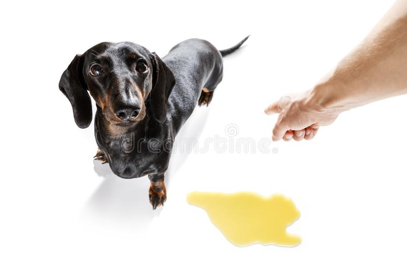 Dog pee owner at home. Dachshund  sausage dog being punished for urinate or pee  at home by his owner, isolated on white background stock image