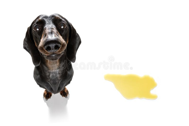 Dog pee owner at home. Dachshund  sausage dog being punished for urinate or pee  at home by his owner, isolated on white background royalty free stock photos
