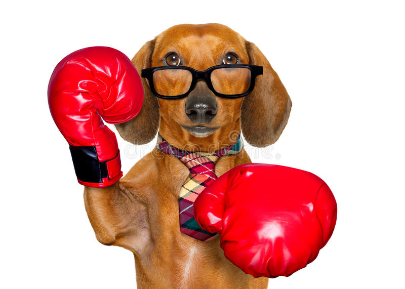 Dachshund sausage dog boxing as the boss stock photography
