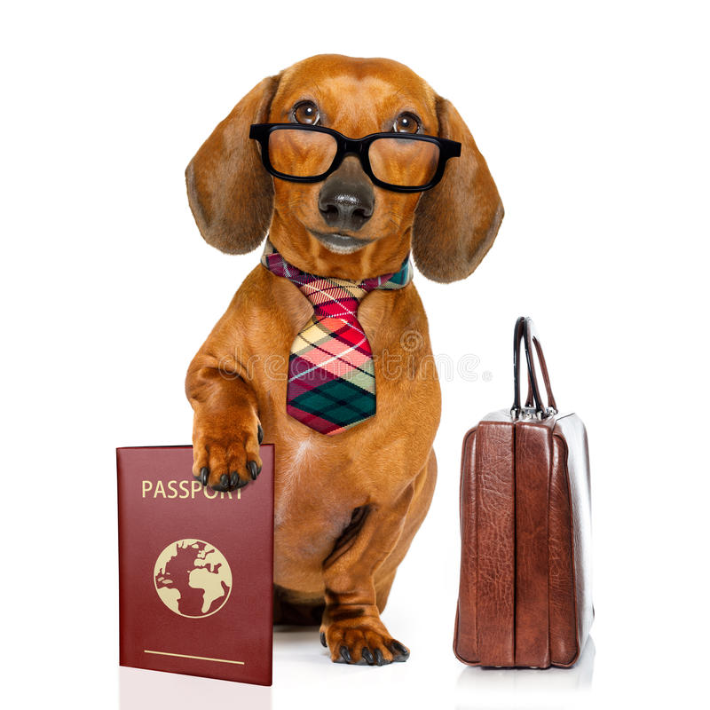 Dachshund sausage dog on business trip stock photography