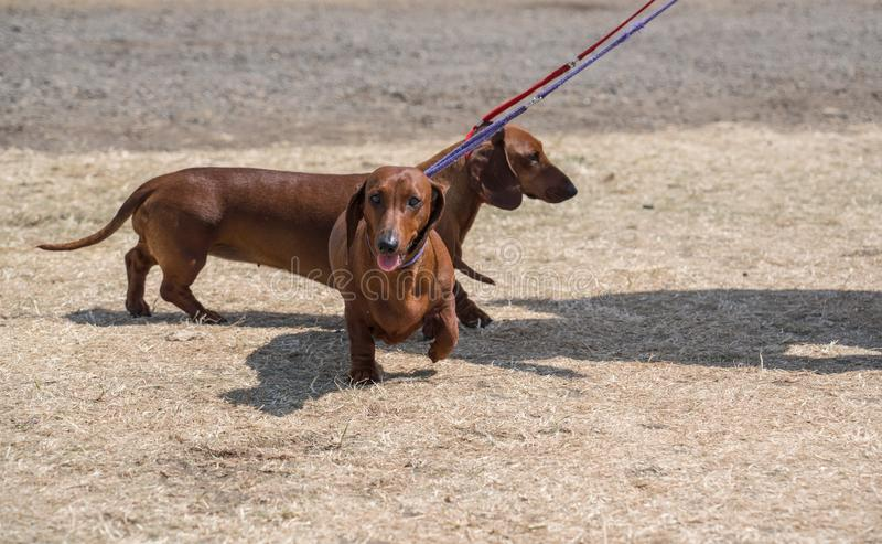 Dachshund Sausage dog on a hot day coming towards you royalty free stock images