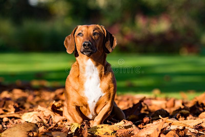 Dachshund sitting up amongst the autumn leaves. Dachshund, golden and white sits amongst the autumn leaves looking off into the distance stock image