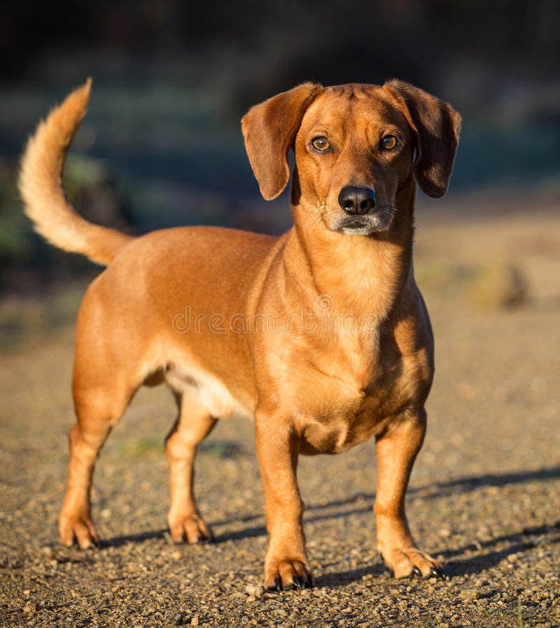 Download Dachshund stock image. Image of canine, isolated, mammal - 35213237
