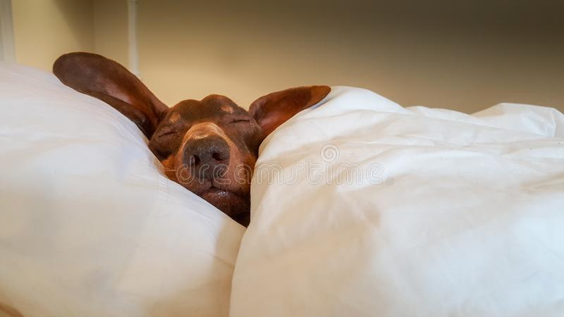 Dachshund snuggled up and asleep in human bed. royalty free stock images