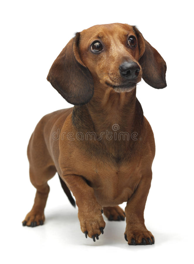 Dachshund staying on the white background. Funny dachshund staying on the white background stock images