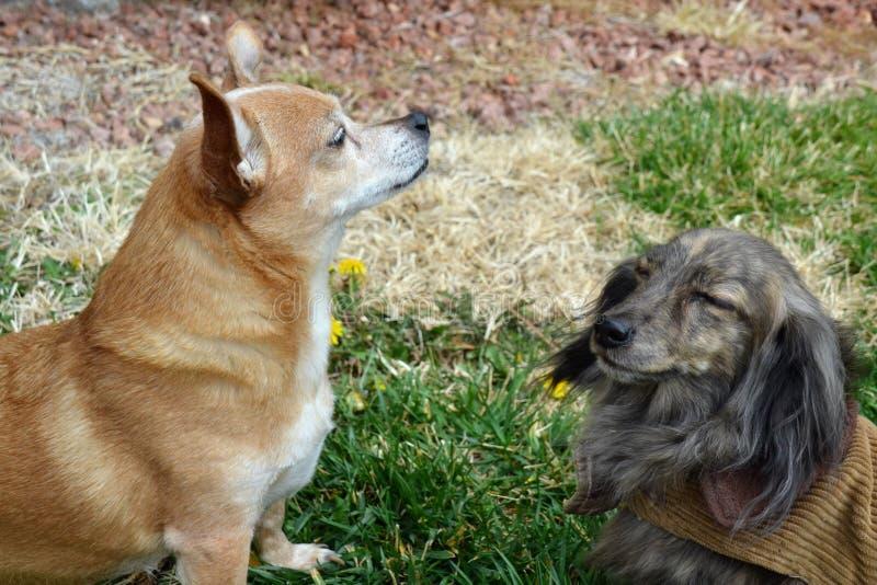 Dachshund und Chihuahua stockbilder
