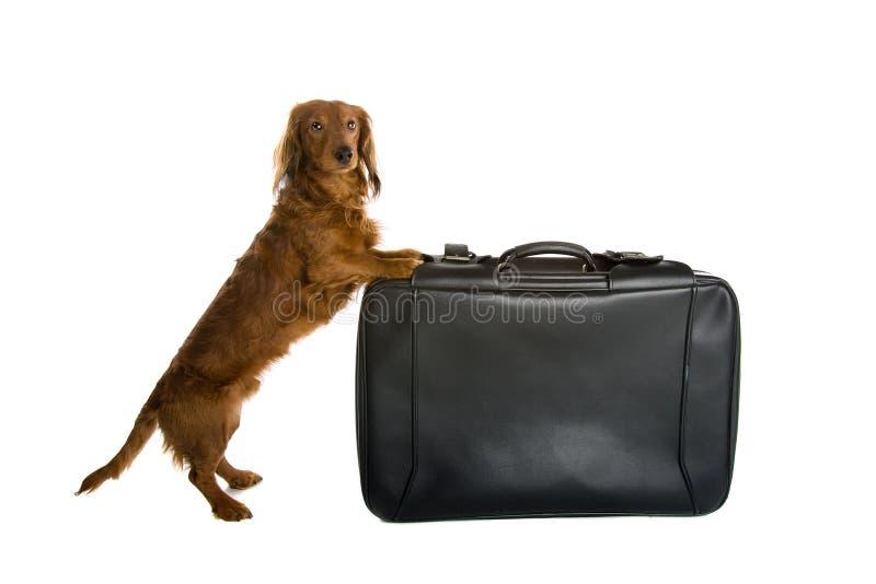 Dachshund und Koffer stockfoto