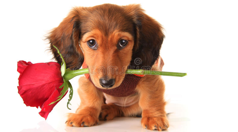 Dachshund-Valentinsgrußwelpe lizenzfreie stockbilder
