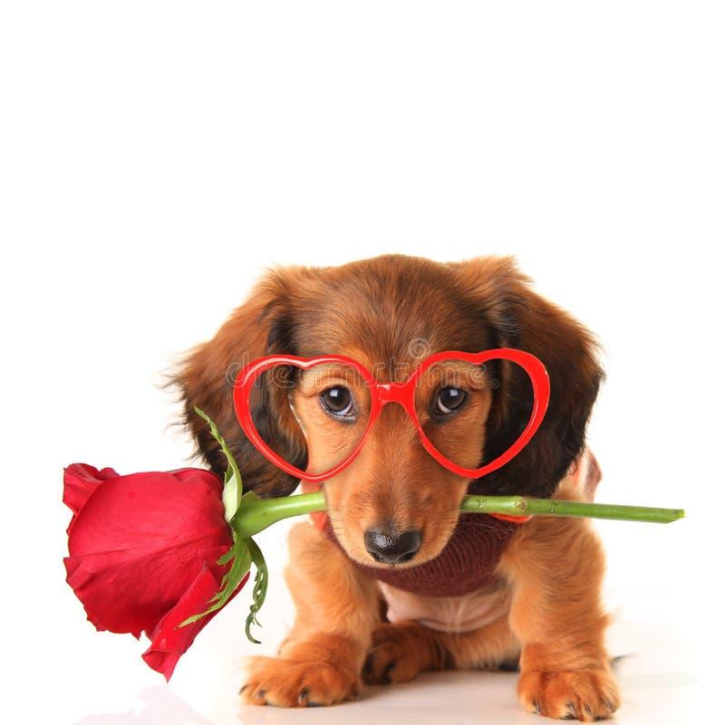 Dachshund-Valentinsgrußwelpe mit einer Rose und geformten Gläsern des Herzens stockfotografie