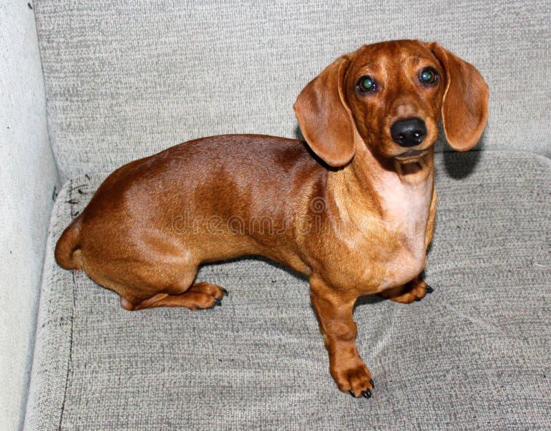 Dachshund Weiner-Hund, der in der Couch sich entspannt lizenzfreies stockbild
