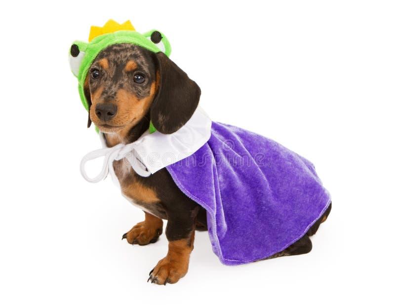 Dachshund-Welpe, der einen Frosch-Prinzen Costume trägt stockfotografie