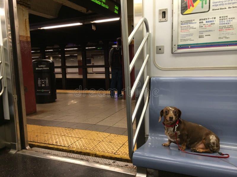 Dachshund Wiener Dog on the New York City Subway royalty free stock photos