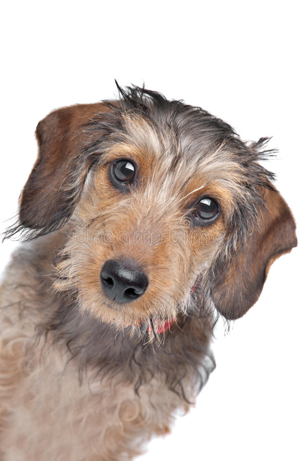 Dachshund Wire-haired imagens de stock royalty free
