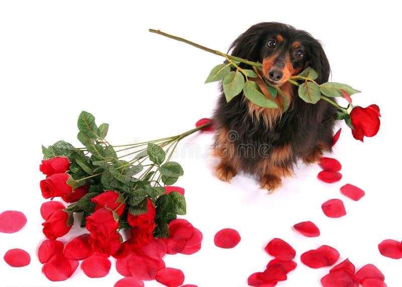 Dachshund y rosas imagen de archivo libre de regalías