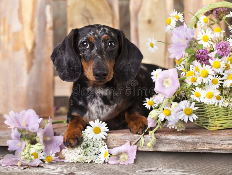Dachshundhund stockbilder
