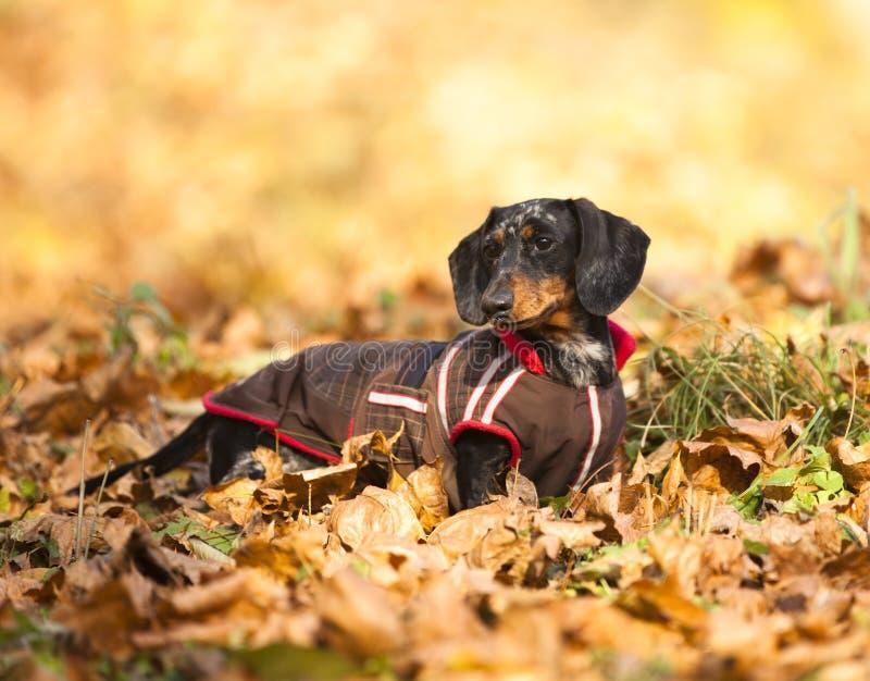 Dachshundhund lizenzfreie stockbilder