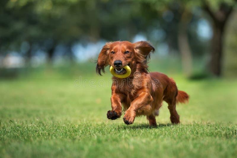 Dachshundhund, der draußen läuft lizenzfreies stockbild